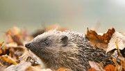 RSPB - hedgehog hotel #nature #wildlife #gardening