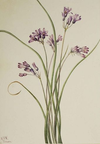 The Wild Garden: Hansen's Northwest Native Plant Database Fool's Onion