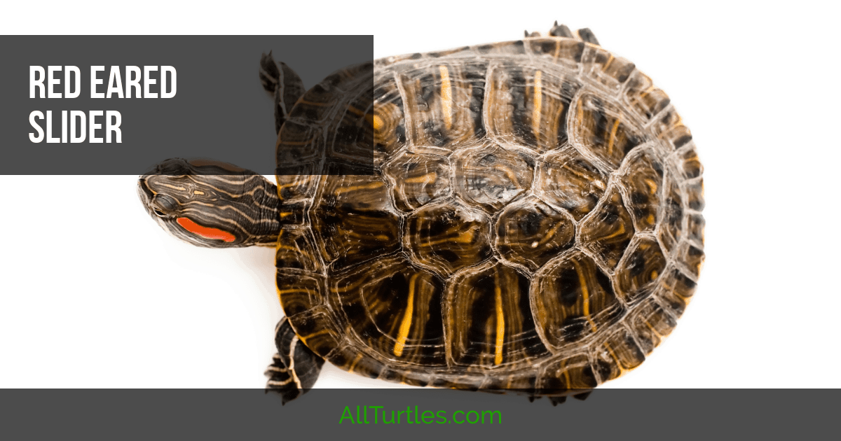 If you have a red ear slider turtle and are looking for