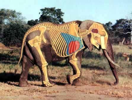 african bush elephant skeleton   Art Ref - Animal Anatomy ...