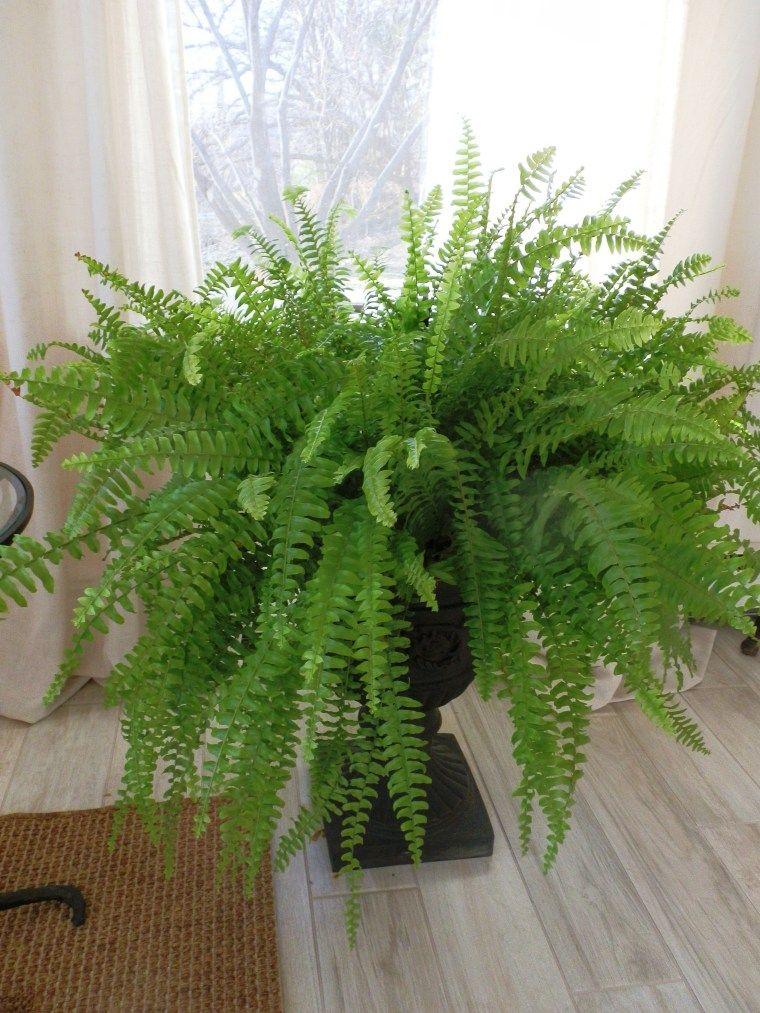 Boston fern boston ferns indoor plants plants