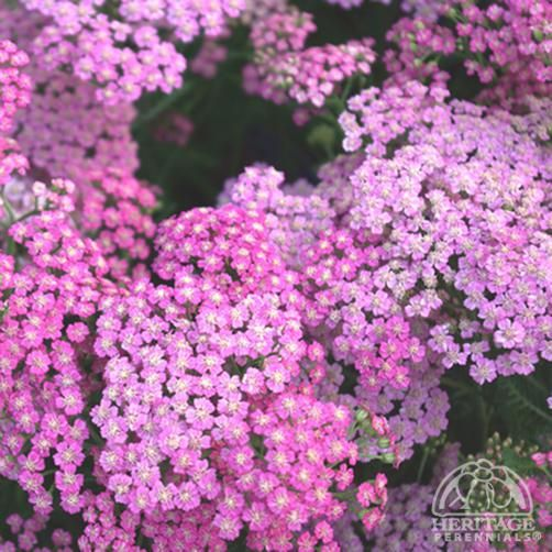 Flower Garden For Dummies: Pink Grapefruit Yarrow -- Compact And Bushy, With Very