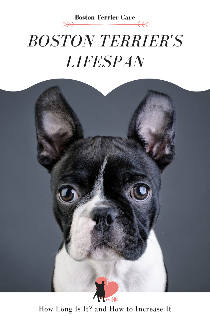 How Long Is A Boston Terrier S Lifespan 8 Longevity Tips In 2020 Boston Terrier Terrier Dog Facts