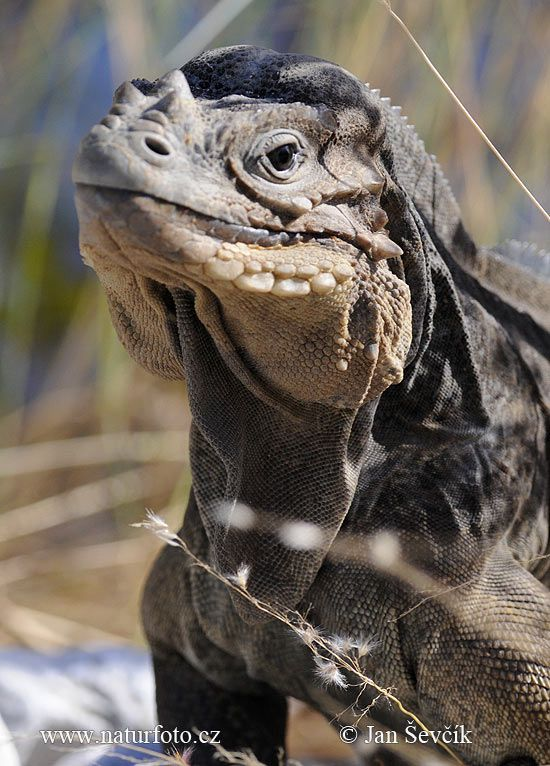 Rhinoceros Iguana is found in the caribbean mostly in Haiti and the Dominic Republic. It is very rare.