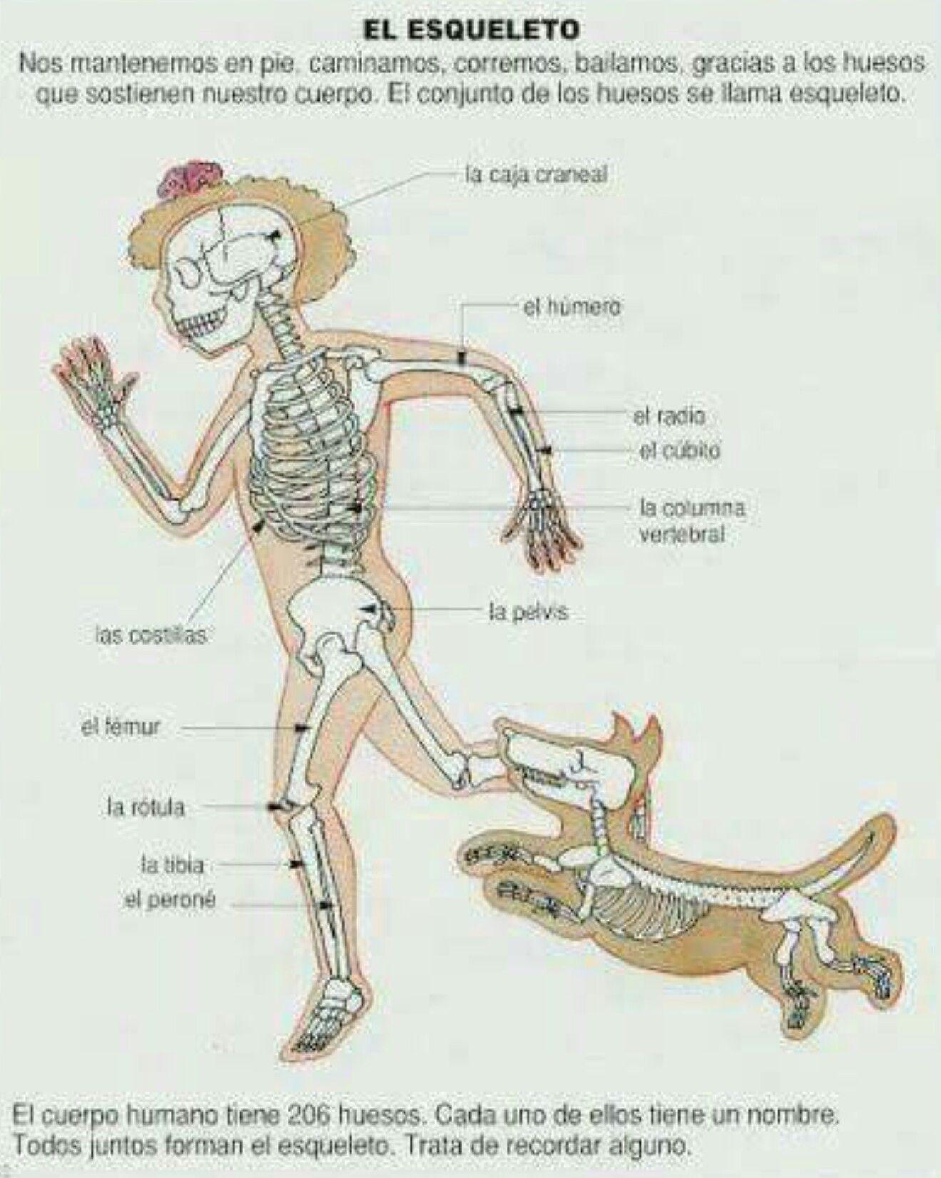 Lujoso Diagrama De Cuerpo Huesos Foto - Anatomía de Las Imágenesdel ...