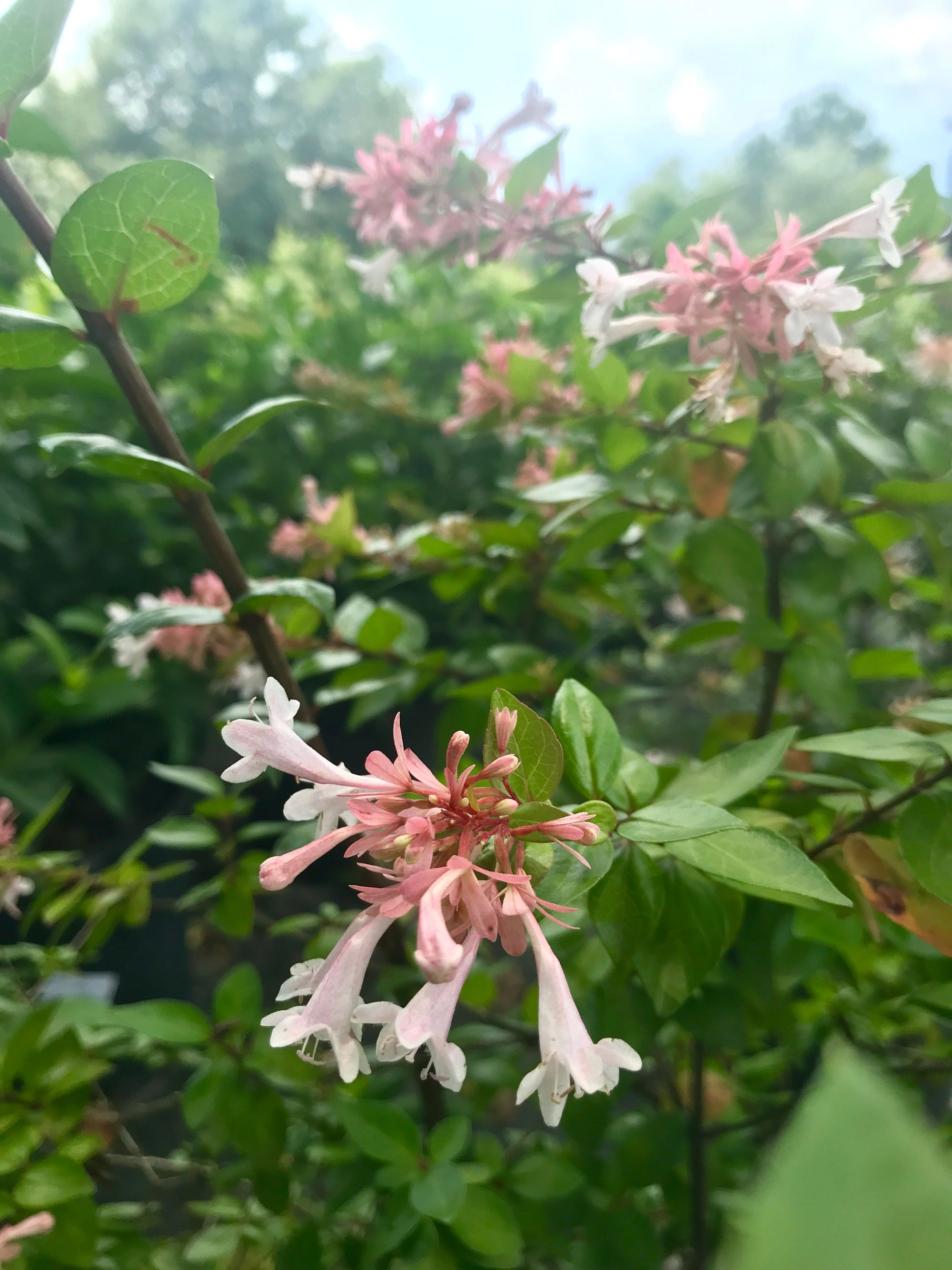 Abelia is a evergreen shrub with arching branches and a