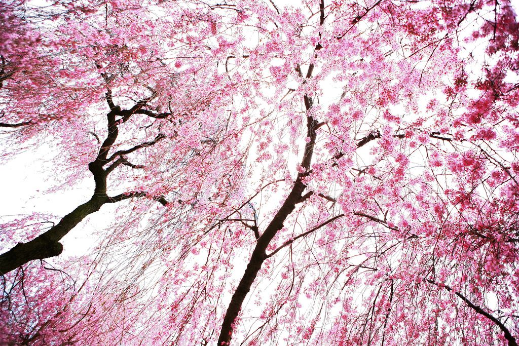 Beautiful Cherry Blossoms 15 Photos Cherry Blossom Blossom Beautiful Pictures