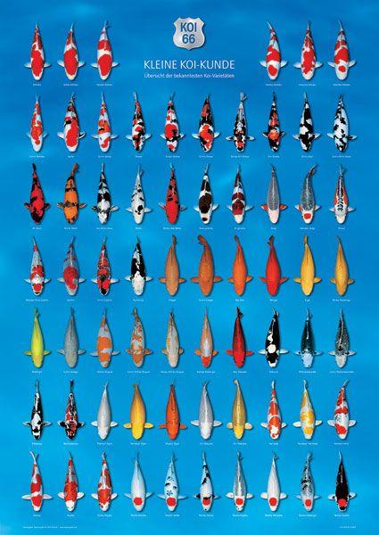 Image detail for -... Koi-Steckbriefen und lernen mehr über Kohaku, Showa, Hi- Utsuri und