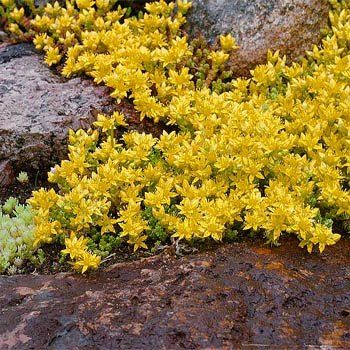 Sedum Acre Seeds Yellow Stonecrop Ground Cover Seed Ground Cover Plants Ground Cover Perennial Ground Cover