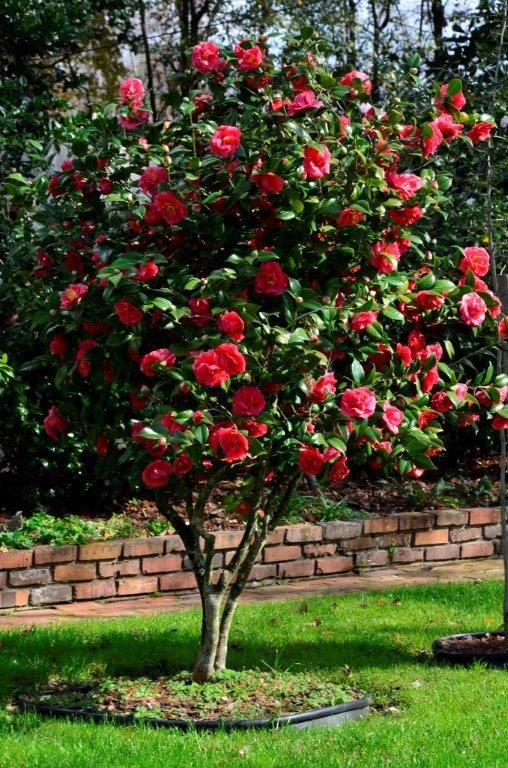 Pin By Meagan Whiddon On Outside Ideas Camellia Plant Flowering Trees Camelia Tree