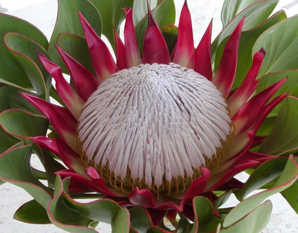 Pin On Protea