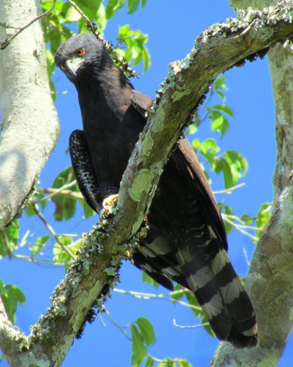 Black Hawk Eagle (Spizaetus tyrannus).