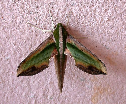 Pergesa Actius Schmetterling