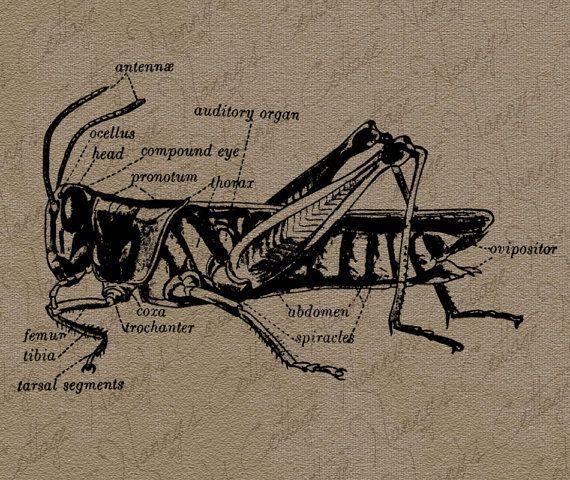 Grasshopper Diagram Clip Art Illustration Vintage By Nannyscottage