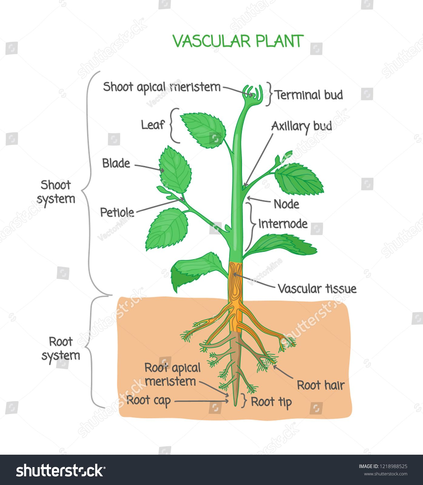 Vascular Plant Biological Structure Diagram With Labels Vector Illustration Drawing Poster Educational Scheme With Shoot Syste Vascular Plant Plants Vascular