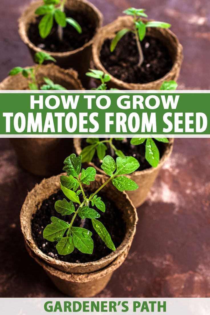 How to grow tomatoes from seed gardeners path growing