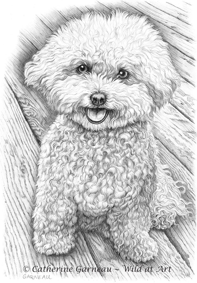 graphite-portrait-bichon-frise-hershey.jpg (751×1080) | caniche ...