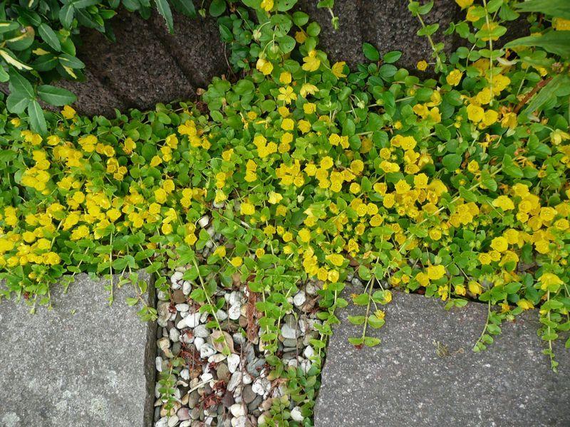 Auch Fur Grosse Flachen Gibt Es Gelb Bluhende Bodendecker