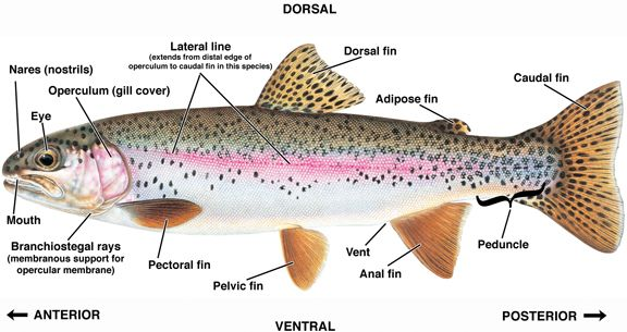 rainbow trout drawing template | External anatomy of the rainbow ...