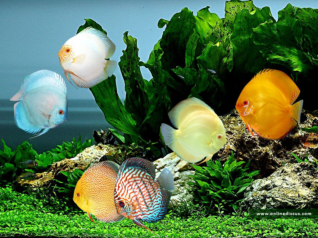Image detail for -discus, animals, aquarium, color, discus, fish ...