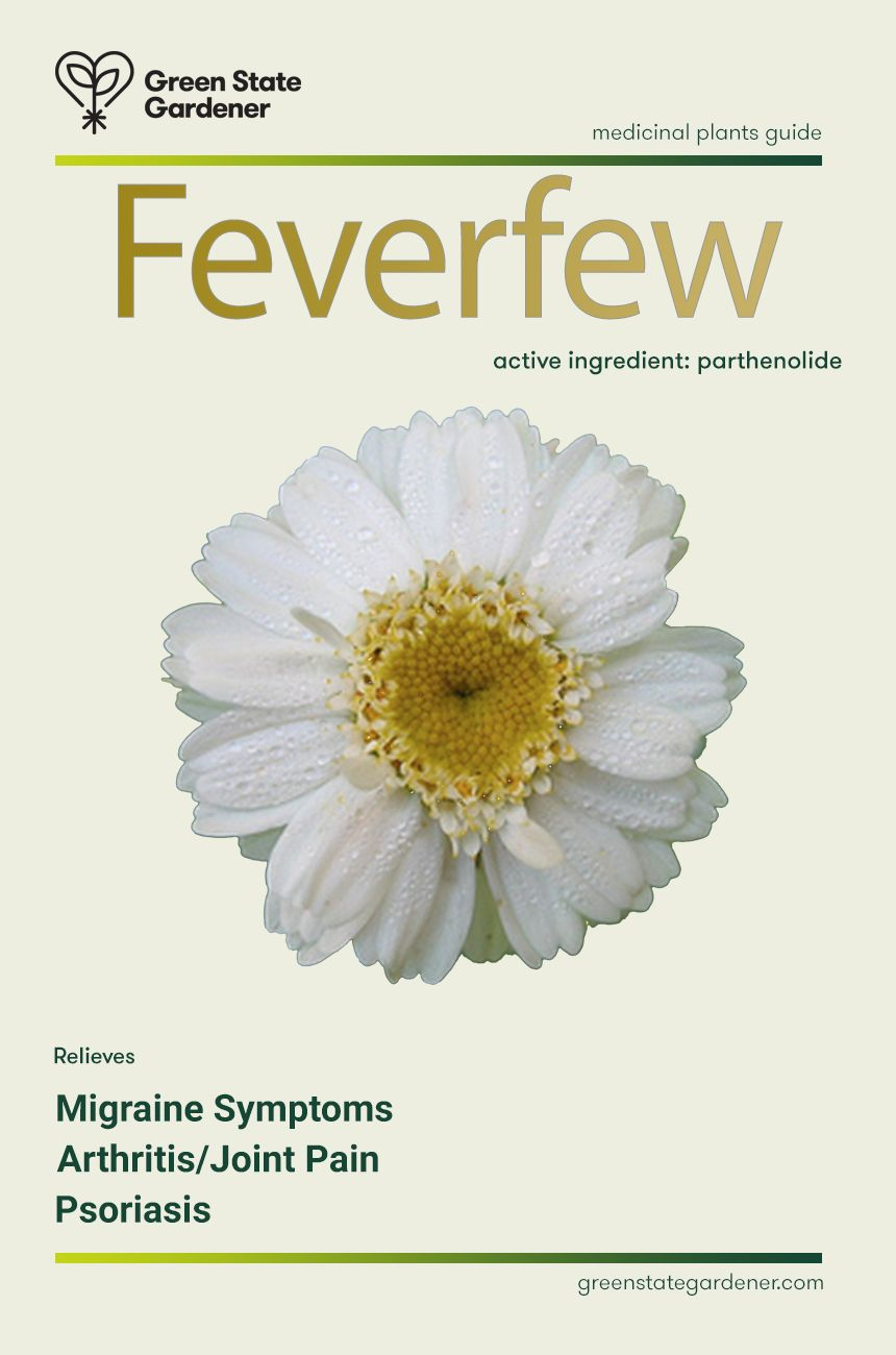 Feverfew Medicinal Value The Leaves Of Feverfew Contain A Compound Called Parthenolide Thought To Be Usef Feverfew Medicinal Plants How To Relieve Migraines
