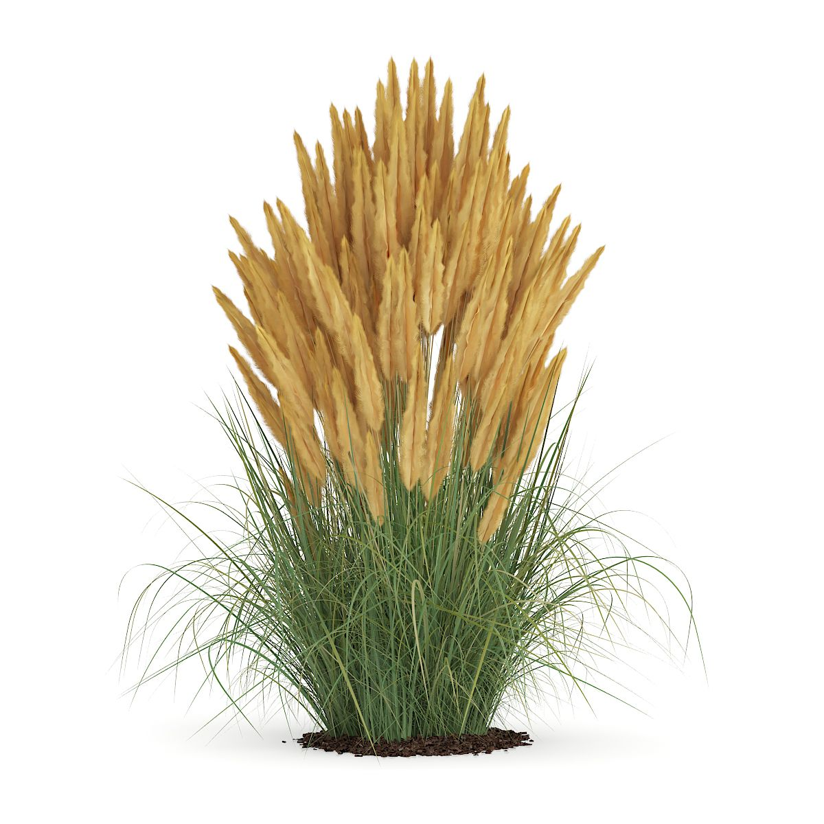 Ornamental Grass Ornamental Grasses Tree Photoshop Grasses Landscaping