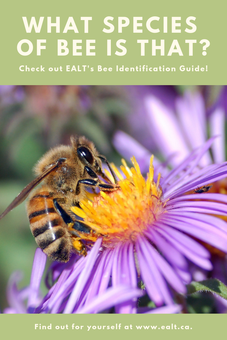 What kind of bee is that? Bee identification guide. Tell