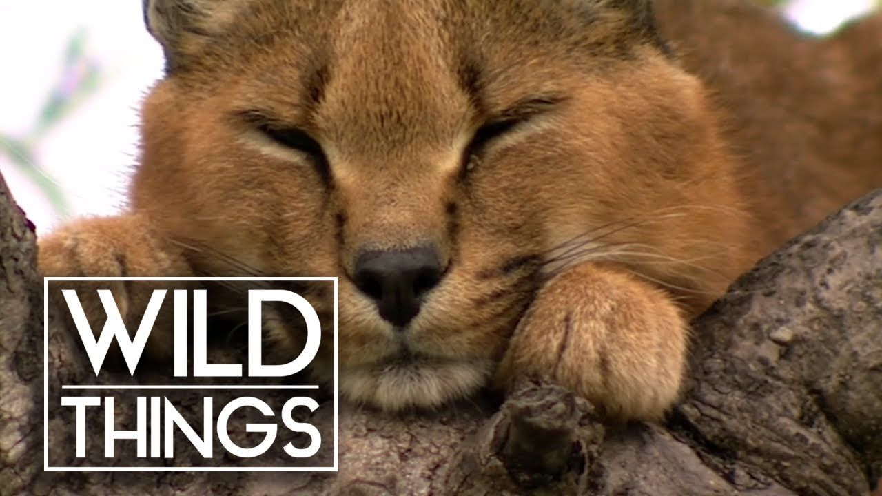 Top Cat [Caracal Documentary] Wild Things YouTube