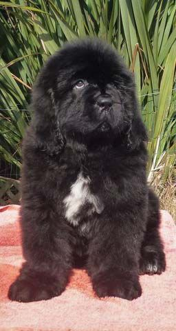 A Newfoundland Puppy With A White Chest Marking Newfoundland