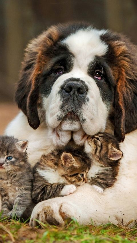 A young St. Bernard with an armful of adoring kittens