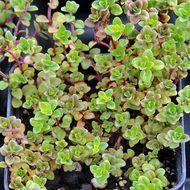 citriodorus 'Doone Valley' - Thymus