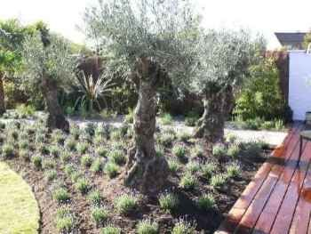 Image Result For Underplanting Olive Trees
