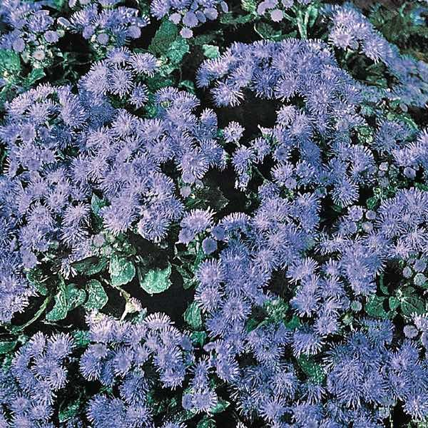 Ageratum Seeds For Sale Annual Flower Seeds Annual Flowers Flower Seeds Planting Flowers