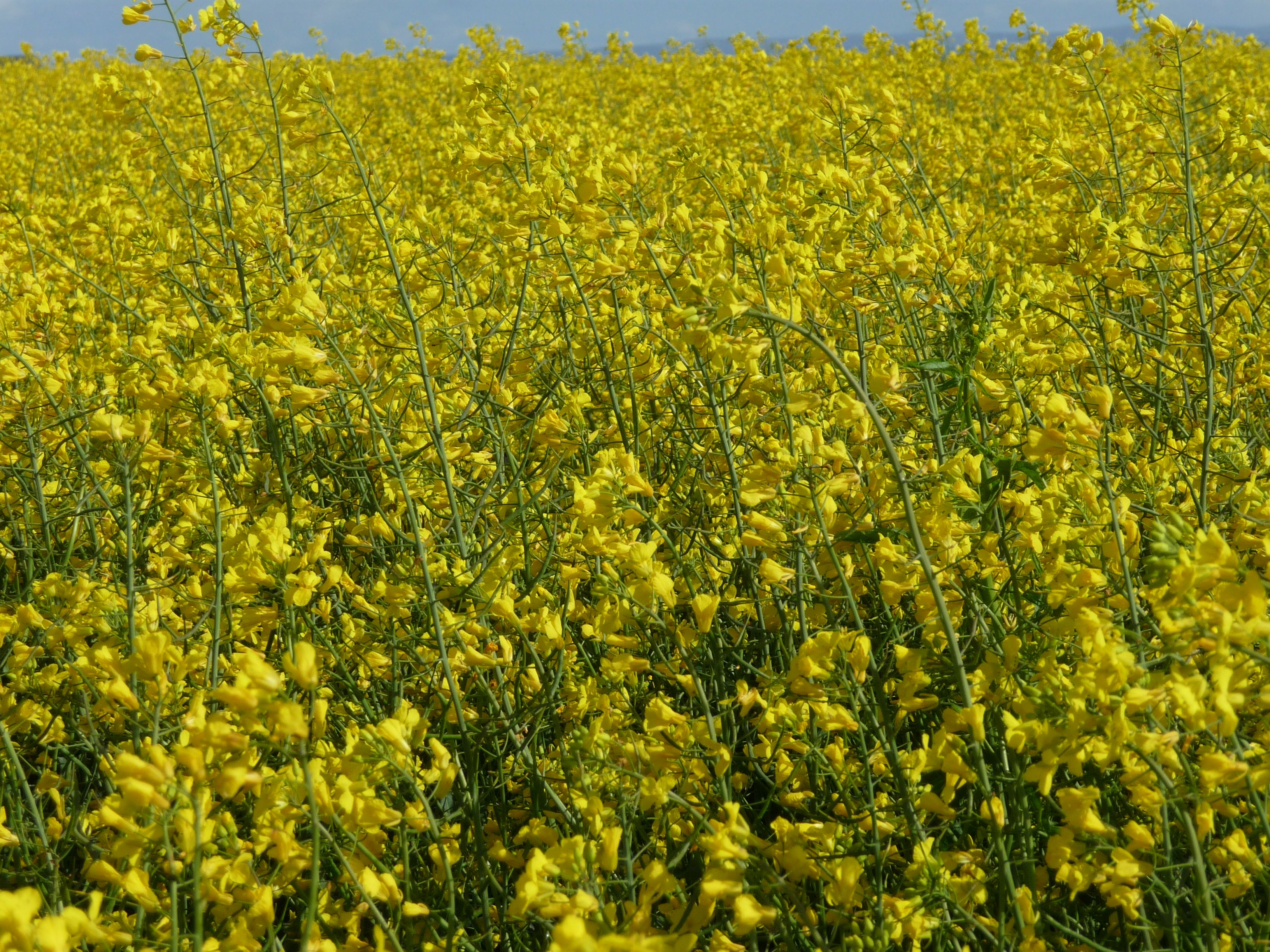 Amazing Yellow Flowers In Scotland 2009 Scotland The Brave
