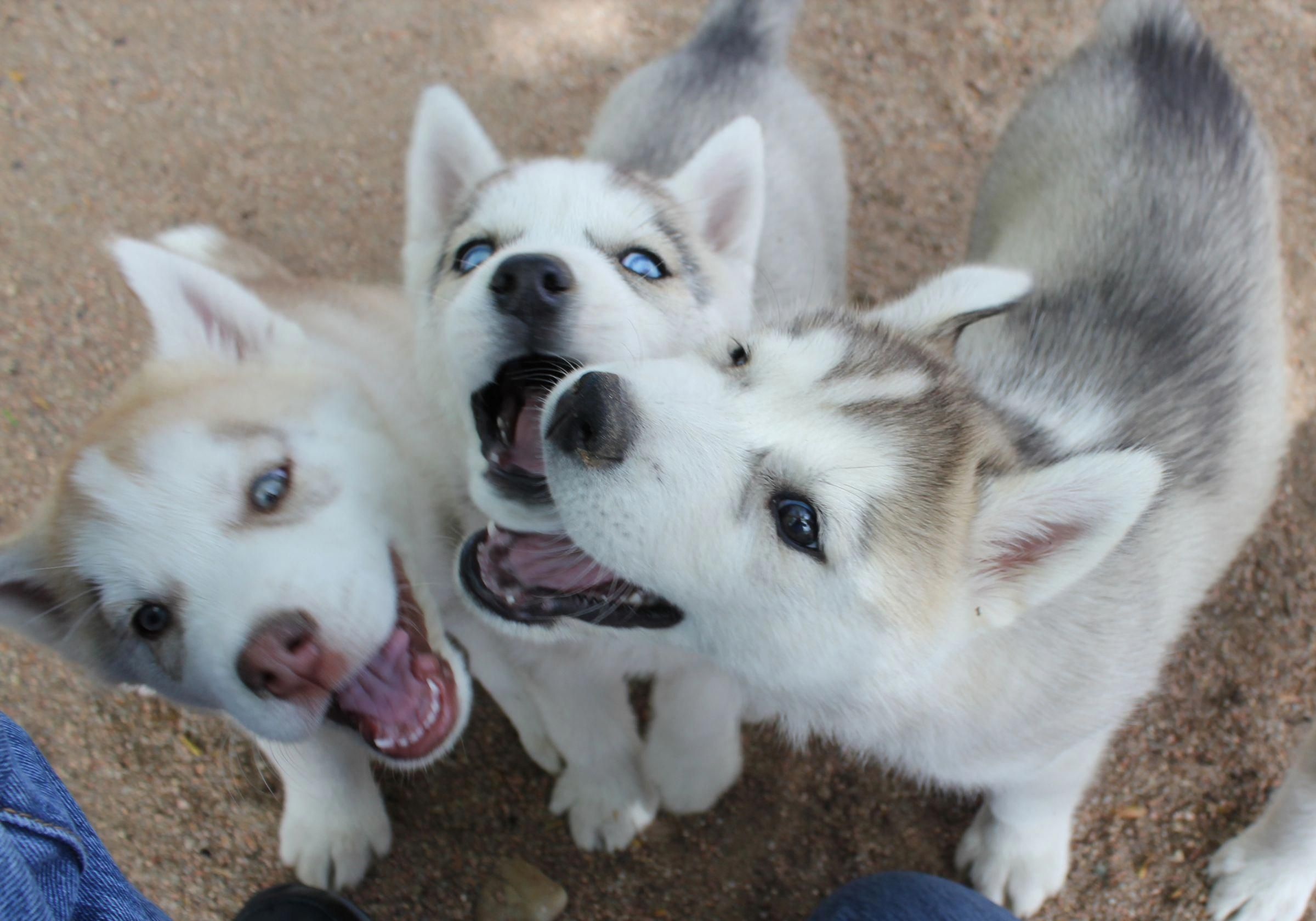 Find Out More On Athletic Siberian Husky Dogs Exercise Needs Siberianhuskypuppy Siberianhuskeylife Siberianhusk Husky Puppy Siberian Husky Cute Puppy Breeds