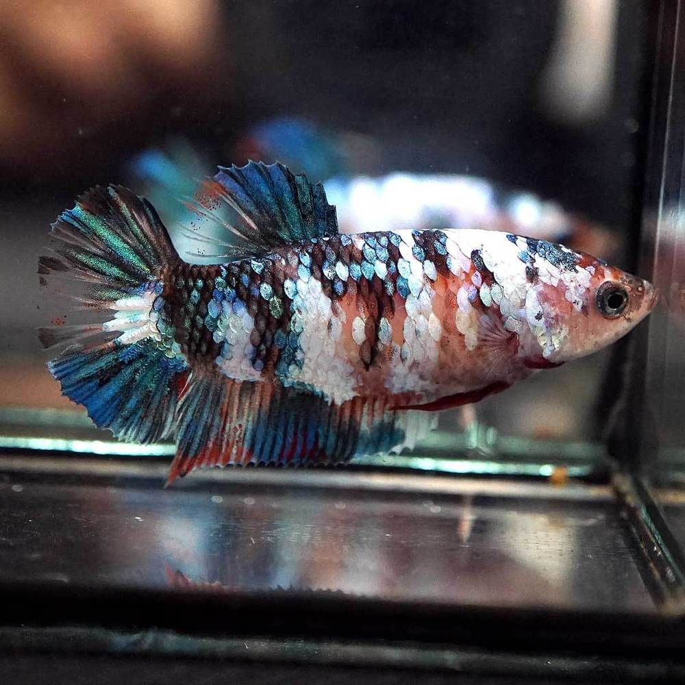 Betta Fish Betta Fish Ideas Bettafish Fishbetta Live Betta Fish Big One Fancy Blue Koi Halfmoon Plakat Hmpk Female 7 Betta Fish Betta Live Fish For Sale