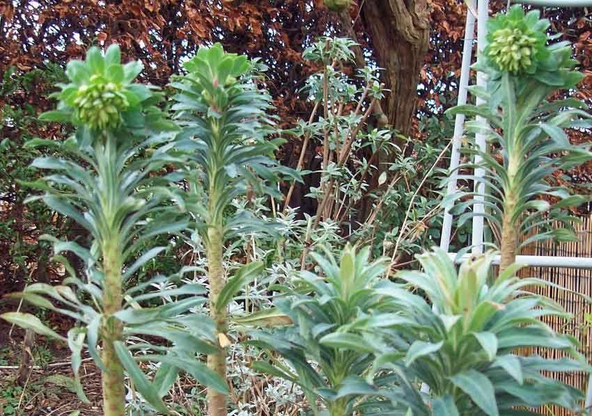 Euphorbia wulfenii, Jan 17. http://www.mandycanudigit.co.uk/#!euphorbias/c13f8