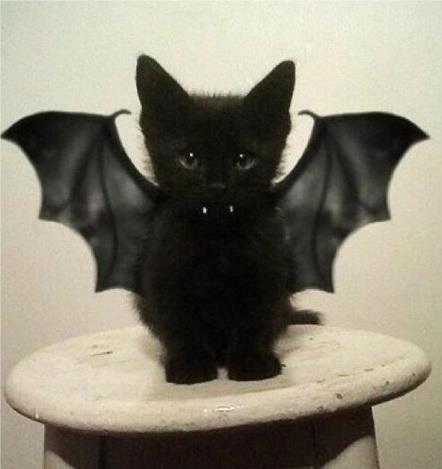 Batkitty Katten Poesje Schattig Kitten