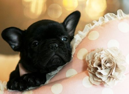 French Bulldog Puppies For Sale Dogs For Sale French Lovies