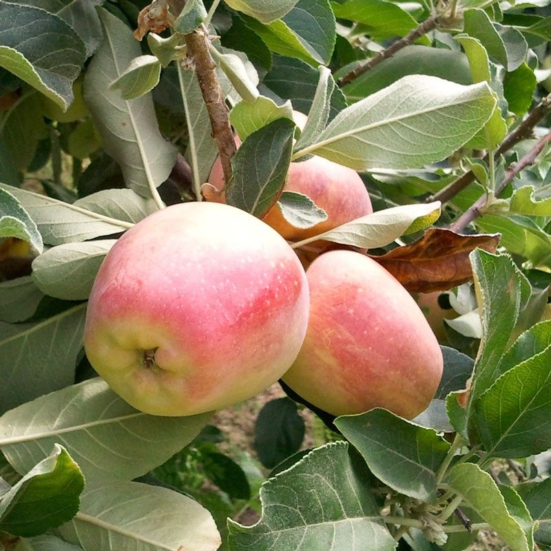 Anna Apple Malus Domestica Originated From Israel Has A