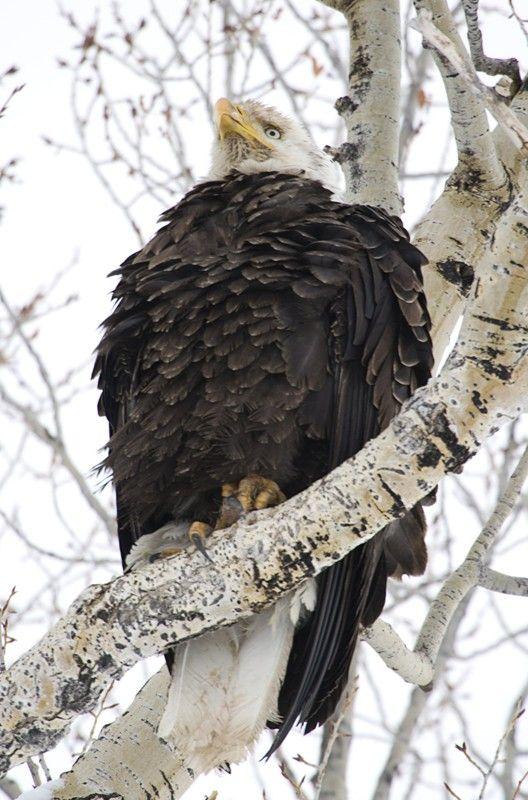 0008 Wyoming Bald Eagle Photographed In The Wild Nat Elk Refuge Jackson Wy Bald Eagle Wyoming Wild Nature