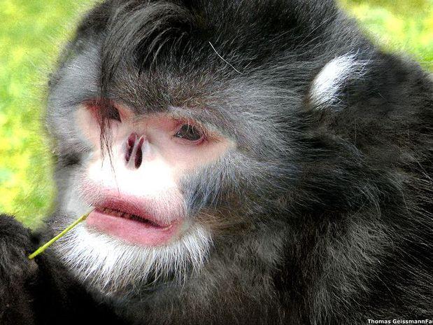 Animais exóticos: Rhinopithecus strykeri