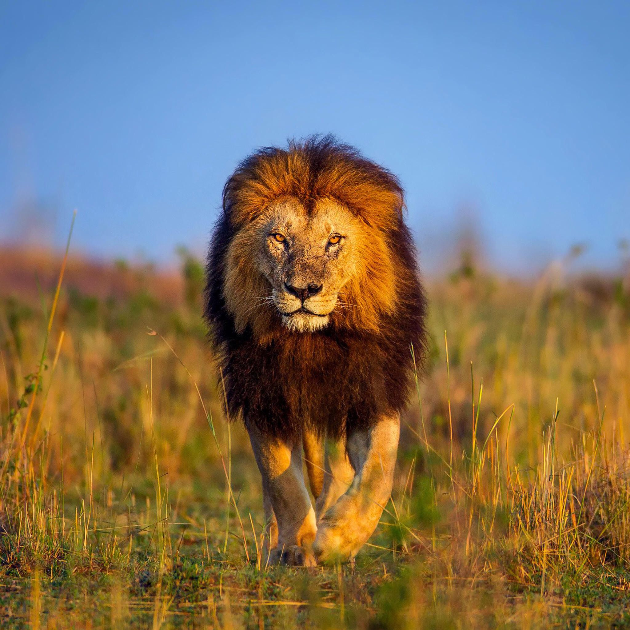 Pin By Shahzad Akram On Lion Lion Wallpaper Lion Africa Lion