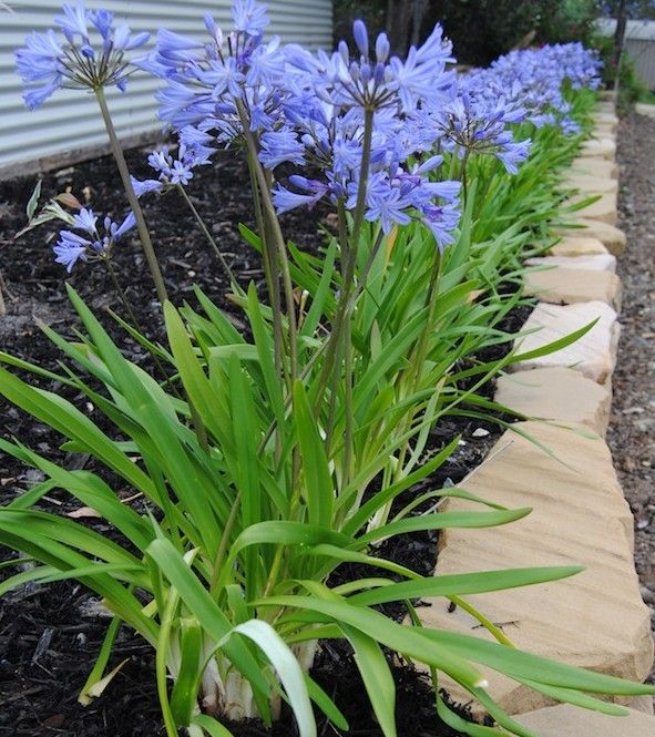 Agapanthus Along Base Of Retaining Wall 30 90cm High 90cm Wide Agapanthus Summer Plants Front Yard Plants