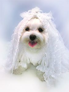 dog wedding dress...............Or for a dog Quince! Or Baptism ...