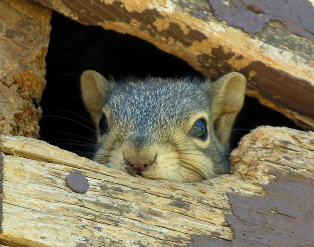 Rodent Control Squirrel Removal Bee Removal Dallas Tx Plano Frisco Squirrel Rodent Control Bee Removal