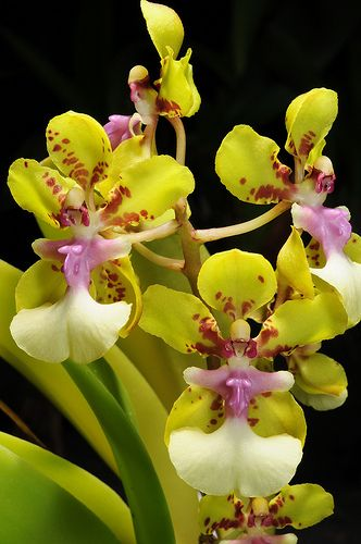 Pin On Orchid Flowers 2
