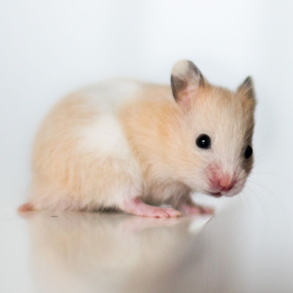 Askur, Black eyed Cream Banded SH Syrian hamster Bear