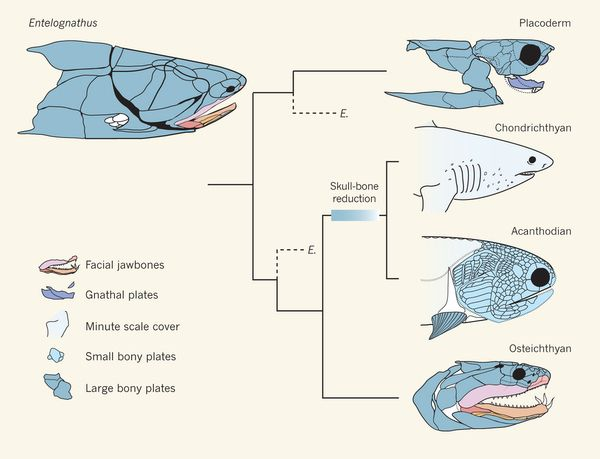 Skull With Jaw Dropped: What Entelognathus Says About Fish Relationships