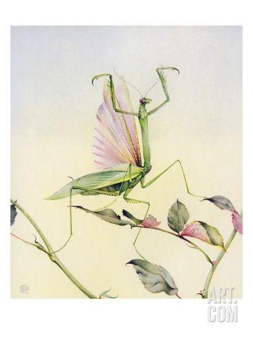 Illustration Of Praying Mantis By Edward Julius Detmold Giclee Print At Art Com Old Book Art Illustration Praying Mantis